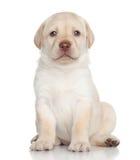 Labrador retriever-Welpenporträt Stockfoto