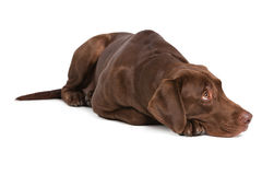 Labrador retriever on white background Stock Images