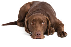 Labrador retriever on white background Stock Photo