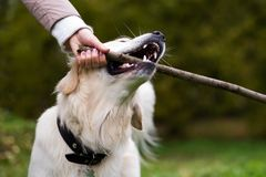 Labrador retriever with wooden stick in autumn nature royalty free stock images