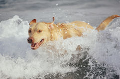 Labrador retriever at the sea. Yellow labrador retriever splashing in water at the beach Stock Image