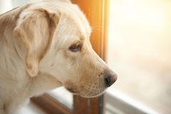 Labrador retriever Stock Photos