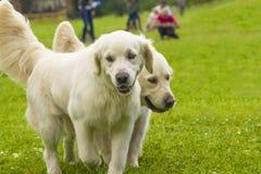 Labrador retriever zakończenie Zdjęcia Stock