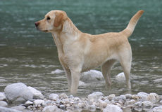 labrador retrievera obrazy royalty free