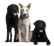 Labrador Retrievers. 7  and 8 years old and a Podenco Canario, 4 years old, in front of white background Stock Photography