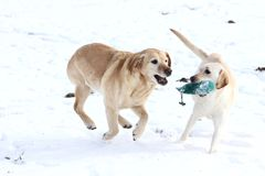 Labrador retrievers Royalty Free Stock Photo
