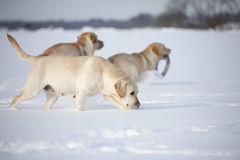 Labrador Retrievers Royalty Free Stock Photography