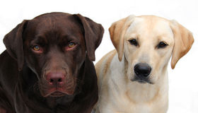 Labrador retrievers Royalty Free Stock Images