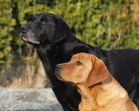 Labrador retrievers Stock Photo
