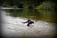 Labrador retrievers in river in Oregon Royalty Free Stock Photo