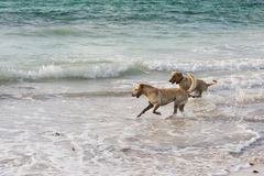 Labrador retrievers running in the water Stock Photos