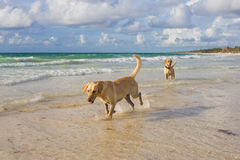 Labrador retrievers running in the water Royalty Free Stock Photography
