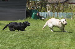 Labrador retrievers taking tight corners. A black and a yellow female labrador retriever are chasing each other over the grass, taking really tight corners to Stock Photography