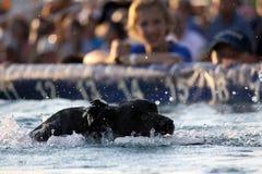 Labrador Retrieving. Retrieving Labrador dog at a dock dog competition Royalty Free Stock Photos