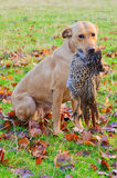 Labrador retrieving pheasant Stock Photography