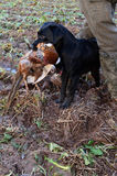 Labrador retrieving pheasant Royalty Free Stock Photography