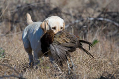 Labrador retrieving pheasant. Yellow Labrador retrieving pheasant during field trial competition Stock Photos