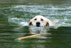 Labrador Retrieving Stick in Water. Yellow Labrador Swimming to Retrieve Stick Stock Photos