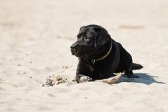 Labrador Retriver fotografía de archivo libre de regalías