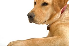 Labrador retriver Royalty Free Stock Photo