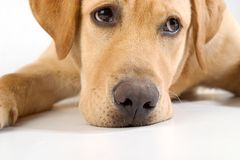 Labrador retriver stock photography