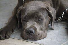 Labrador retriver Stockfotografie