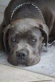 Labrador retriver Lizenzfreie Stockfotografie