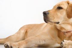 Labrador-retriver lizenzfreie stockfotografie