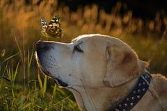 Labrador retriver Lizenzfreies Stockbild
