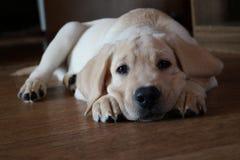 Labrador retriver Royalty-vrije Stock Fotografie