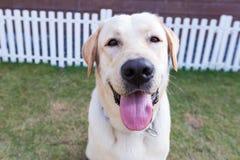 Labrador-retriver, das im Garten lächelt Lizenzfreie Stockfotografie