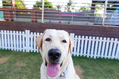 Labrador-retriver, das im Garten lächelt Stockfoto