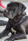Labrador retriver Stock Images