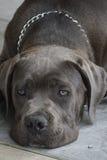 Labrador retriver Stock Photography
