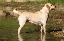 Labrador Retriver Waiting Order. Labrador retriever on lake shore Royalty Free Stock Photography