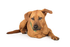 Labrador Rhodesian Ridgeback Dog Lying Down. Labrador Retriever and Rhodesian Ridgeback mixed breed dog lying down on white royalty free stock photos