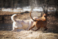 Labrador and Vizsla royalty free stock images