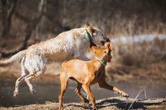 Labrador and Vizsla royalty free stock image