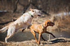 Labrador and Vizsla Stock Photo
