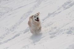 labrador running Royaltyfri Fotografi