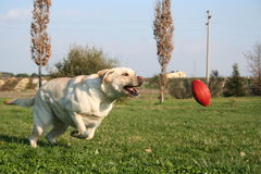 Labrador Running The Ball. Female Labrador Running Behind The Ball - Her favourite Game Royalty Free Stock Photos