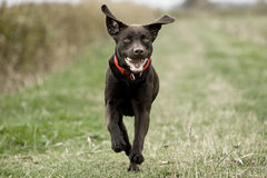 Labrador Running in the Countryside Royalty Free Stock Photography