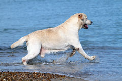 Labrador running to the sea Royalty Free Stock Photography