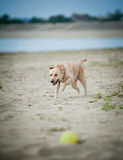 Labrador runs for a ball Royalty Free Stock Images