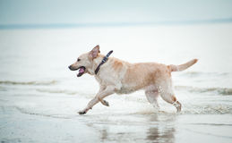 Labrador runs in water Stock Photography