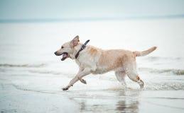 Labrador runs in water Stock Photography