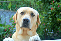 Labrador s'est inquiété dans le jardin Image libre de droits