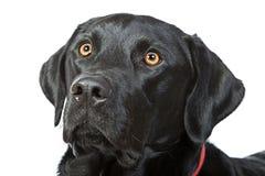 Labrador's Head against a White Background Stock Photos