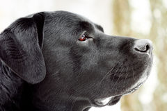 Labrador's head in profile. Stock Photography