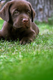 Labrador's puppy. On grass Royalty Free Stock Photo